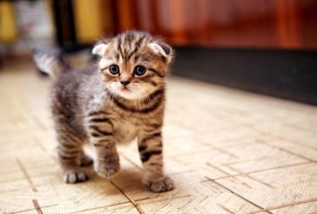 Striped Scottish fold kitten in the game