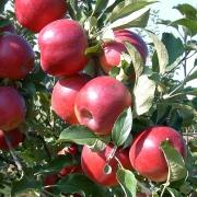 Hová tűnt a Jonatán alma?