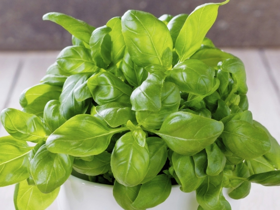 basil growing in a pot against stone background